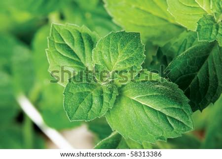 The bush garden mint - stock photo