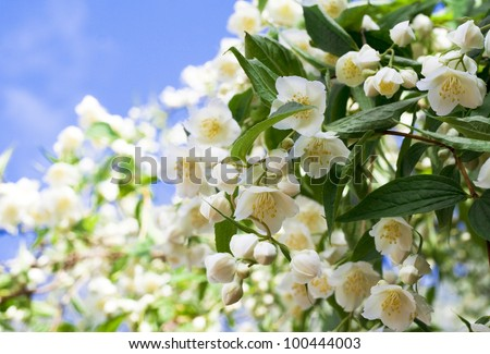the bush of beautiful fresh jasmine flowers. Summer in a garden - stock photo