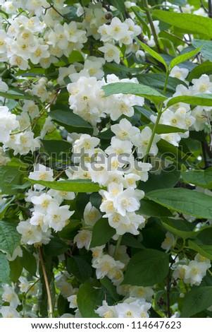 the bush of beautiful fresh jasmine flowers. Summer in a garden - stock photo