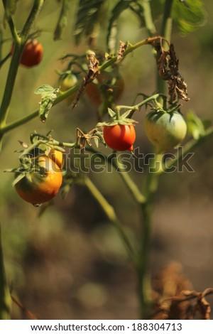 The bush ripe red tomatoes - stock photo