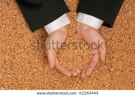 The businessman holds the grain for evaluating quality of the crop wheat - stock photo