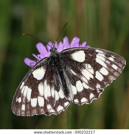 The butterfly marbled white (Melanargia galathea) on the flower. - stock photo