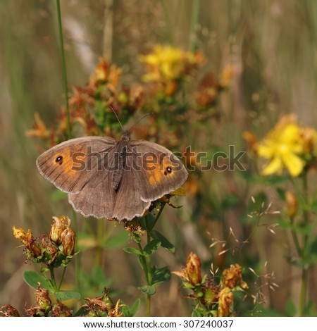 The butterfly Meadow brown (Maniola jurtina) on the flower. - stock photo