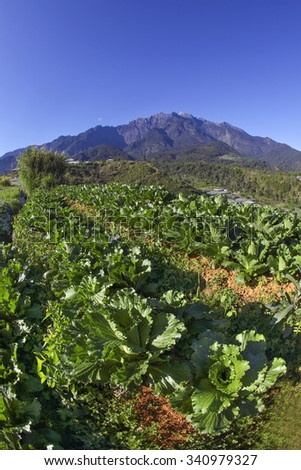 the cabbage farm and mount kinabalu as background - stock photo
