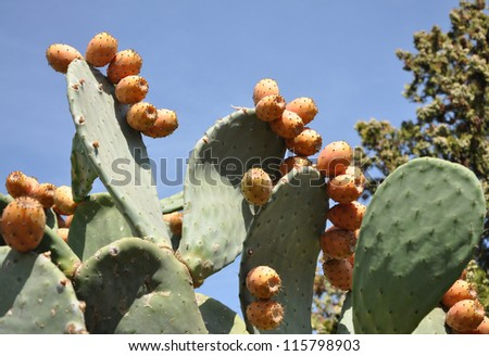 The cactus with fruits grows on a background of the sky - stock photo