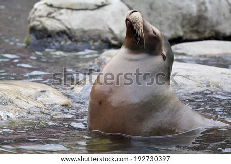 The California sea lion (Zalophus californianus) is a coastal eared seal native to western North America. - stock photo