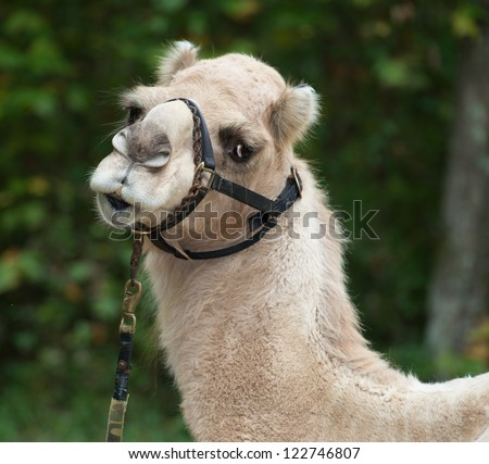 The Camel look - stock photo