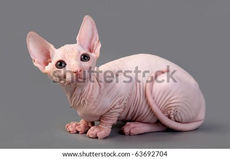 The Canadian sphynx on a gray background - stock photo