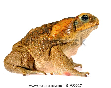 The cane toad (giant marine toad) Bufo marinus isolated on white - stock photo