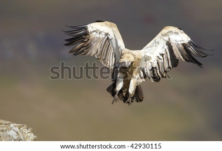The Cape Griffon or Cape Vulture (Gyps coprotheres) landing onto the rock in South Africa. It is an Old World vulture in the Accipitridae family - stock photo