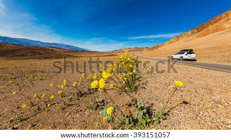 The car rides on the highway in the dry desert. Yellow wild flowers growing in the rocky desert. Artist's Drive, Death Valley National Park - stock photo