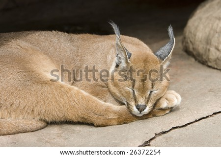 The Caracal (Caracal caracal), also called Persian Lynx or African Lynx, is a fiercely territorial medium-sized cat. - stock photo