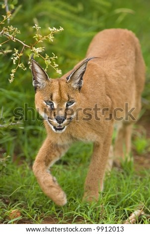 The Caracal is a very efficient Predator - stock photo