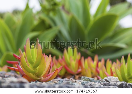 """The carpobrotus edulis is native to South Africa and is also known as """"Ice Plant"""". - stock photo"""
