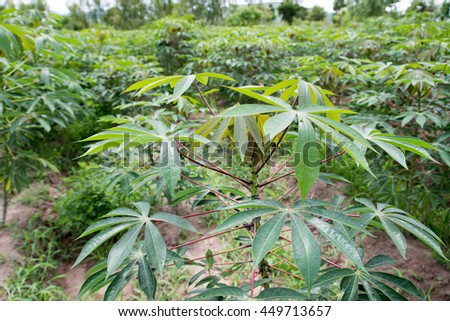 The cassava planting for food and health - stock photo