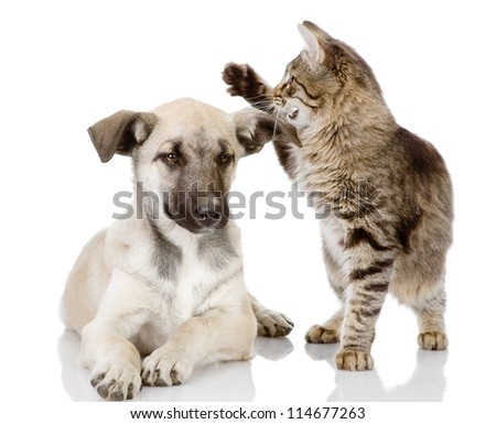 the cat beats a dog. isolated on white background - stock photo