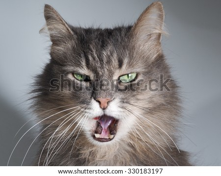 The cat hisses, gapes, grins. Muzzle cat large. Portrait. You can see the fangs, the teeth. Cat large, grey, fluffy. The cat opened its mouth. The terrible jaws of the cat. Mouth. - stock photo