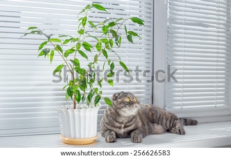 The cat is lying on the windowsill near the favorite flower. The cat resting after a photo shoot. The cat is breed scottish fold. - stock photo