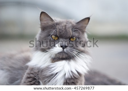 The cat is on the table In the background blurred colorful cute cats close up funny playful young cat , domestic cat cat cat relaxing Cats play at home relaxing , elegant cat 10 - stock photo