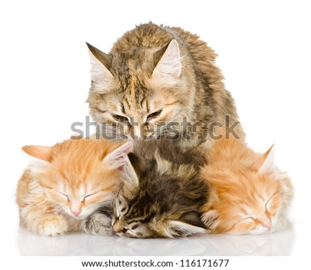 the cat licks the kittens. isolated on white background - stock photo
