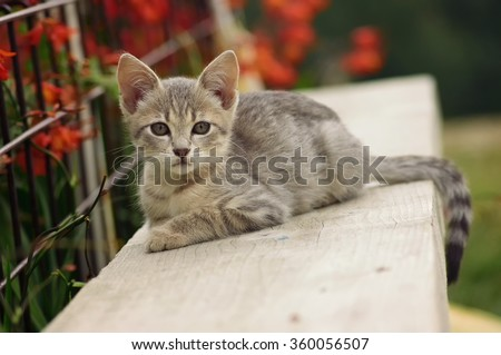 The cat The domestic cat is a small, typically furry, domesticated, and carnivorous mammal. They are often called house cats.  - stock photo