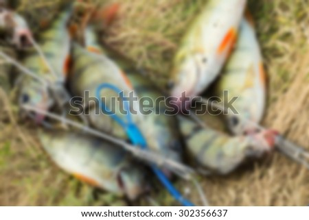 The caught fish, perch. blurred Background - stock photo