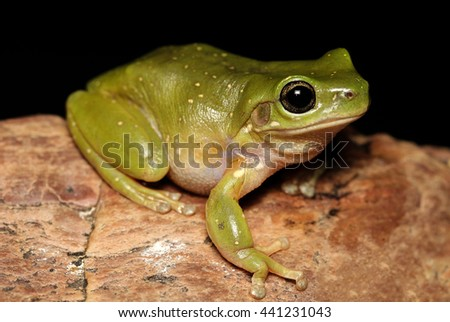 The Centralian tree frog is a large species of tree frog native to a small area in central Australia. It is closely related to the Australian green tree frog, and closely resembles it in appearance. - stock photo