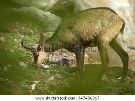 The chamois (Rupicapra rupicapra rupicapra ) - stock photo