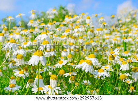 The Chamomile  field on blue sky background, selective focus - stock photo