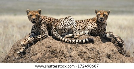 The cheetah (Acinonyx jubatus).  Cat family (Felidae) that is unique in its speed, while lacking strong climbing abilities. The species is the only living member of the genus Acinonyx. - stock photo