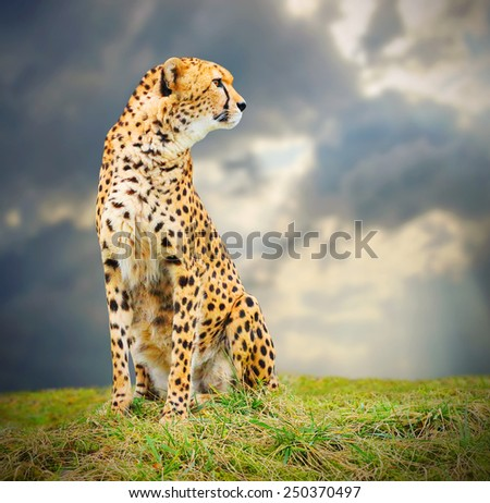The Cheetah (Acinonyx jubatus) in african savanna. - stock photo