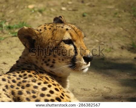 The cheetah ((Acinonyx jubatus)) is having a rest. Cheetah's head - stock photo