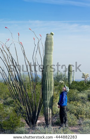 The child looks at the huge cactus - Carnegie giant (Carnegiea gigantea).  Organ Pipe Cactus National Monument, Arizona, US - stock photo