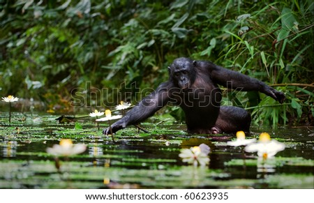 The chimpanzee collects flowers. The chimpanzee costs in water and tries to keep step with a lily flower - stock photo