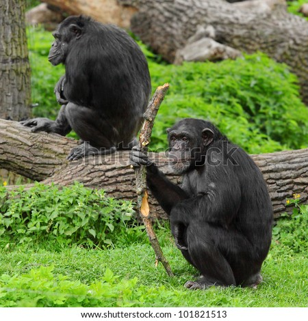 The Chimpanzee with primitive tool or weapon. - stock photo