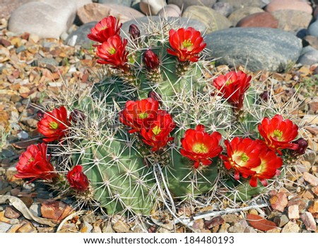 The claret-cup cactus, also called the strawberry cactus, blooms in the rock garden in the Arizona springtime. - stock photo