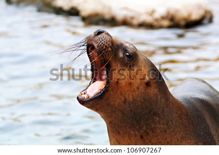 The close up of South American sea lion - stock photo