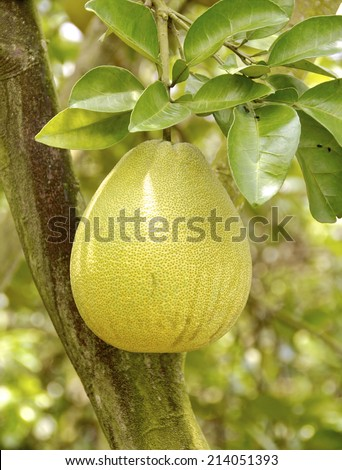 The closeup of pomelo fruit   - stock photo