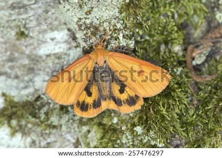 The clouded buff, Diacrisia sannio, female resting on wood - stock photo