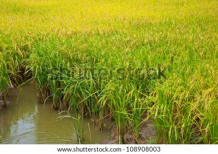 The clump of rice and water. - stock photo