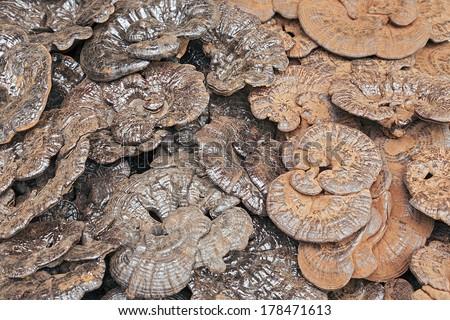The Coal-Black and Red Reishi Mushrooms - Chinese Herbal LingZhi  - stock photo