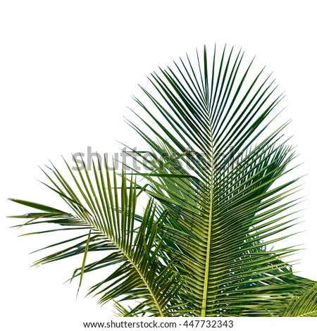 The Coconut palm trees isolated on white background. This has clipping path. - stock photo