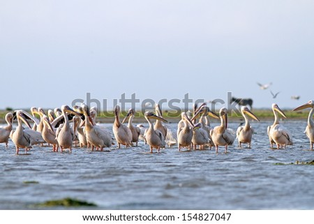 The colony  of great pelicans at Meleaua, Sahalin, Romania. A donkey is standing on the island, as some peasants bring their cattle there in spring and leave them until autumn. - stock photo