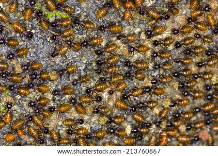 the colony of Nasutitermes exitiosus termite Species - stock photo