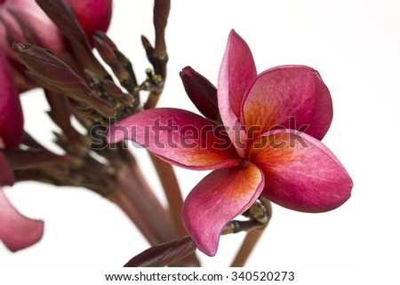 The colorful red  Flower bloom on the branch with white background. - stock photo
