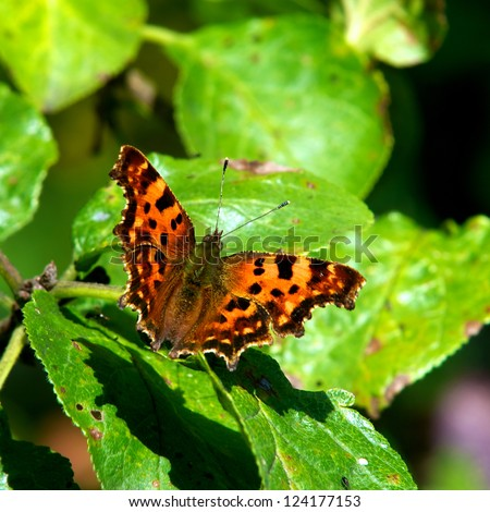 The Comma (Polygonia c-album) with its special shaped wings and a white C on the underside rests after a plum meal, Uppland, Sweden - stock photo
