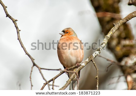 the common chaffinch on a tree branch - stock photo
