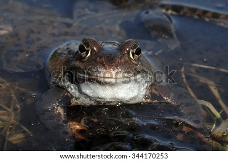 The common frog (Rana temporaria), also known as the European common frog, European common brown frog, or European grass frog, is a semi-aquatic amphibian  - stock photo