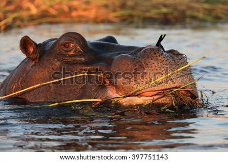 The common hippopotamus (Hippopotamus amphibius), or hippo eat aquatic plants - stock photo