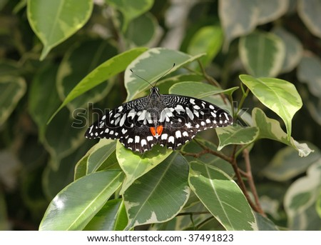 The Common Lime Butterfly (Papilio demoleus) is a common and widespread Swallowtail butterfly. - stock photo